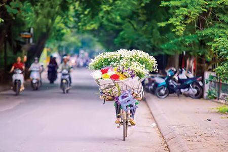 Ha Noi - mua cuc hoa mi - Anh 5