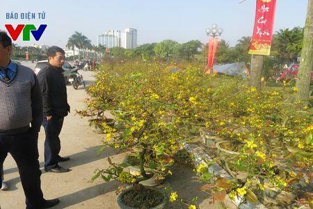 Hoa mai ruc ro khap pho phuong Ha Noi ngay Tet - Anh 10