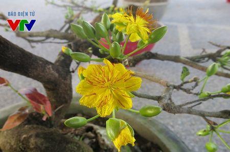 Hoa mai ruc ro khap pho phuong Ha Noi ngay Tet - Anh 1