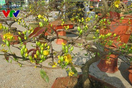 Hoa mai ruc ro khap pho phuong Ha Noi ngay Tet - Anh 2
