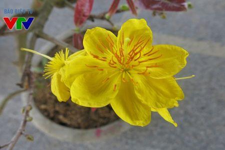 Hoa mai ruc ro khap pho phuong Ha Noi ngay Tet - Anh 4
