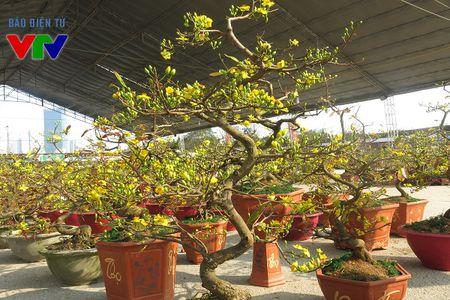 Hoa mai ruc ro khap pho phuong Ha Noi ngay Tet - Anh 5