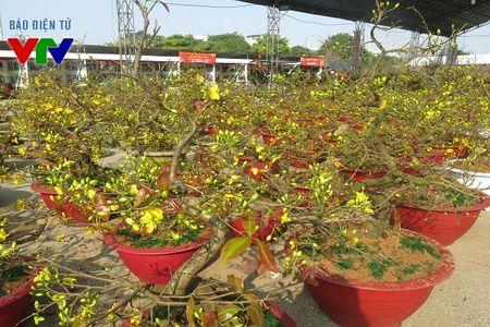 Hoa mai ruc ro khap pho phuong Ha Noi ngay Tet - Anh 6