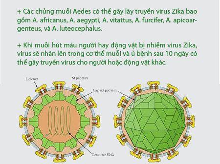 Nhung dieu nguoi Viet phai biet ve virus 'an nao' Zika - Anh 4