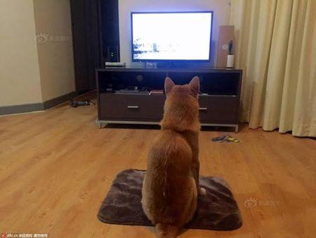 Cho Shiba gay sot voi dang ngoi xem tivi giong het con nguoi - Anh 2