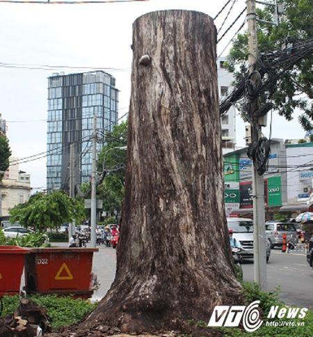 Hang loat cay co thu tram tuoi chet bat thuong o TP.HCM - Anh 2
