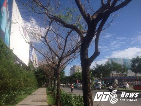 Hang loat cay co thu tram tuoi chet bat thuong o TP.HCM - Anh 8