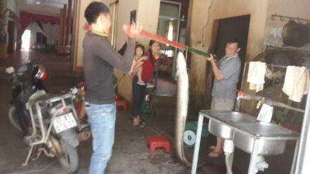 Nong dan Nghe An bat duoc ca Chinh 'khung' - Anh 3