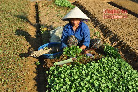 Vung rau trong diem Quynh Luu khoi phuc san xuat sau mua lut - Anh 5