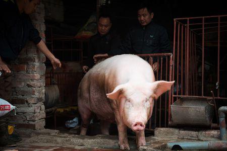 Nguoi dan La Phu tung bung ruoc 'Ong lon' 200kg trong dem - Anh 2