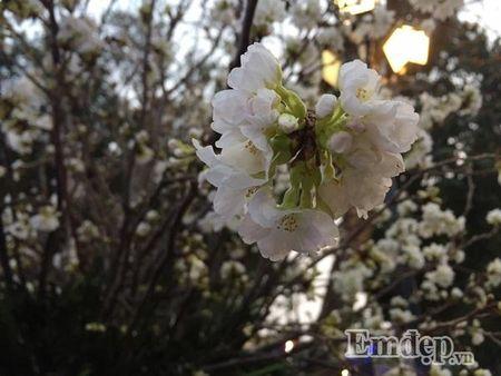 Le hoi hoa anh dao Ha Noi: Nhieu loi khen nhung khong it tieng che - Anh 8