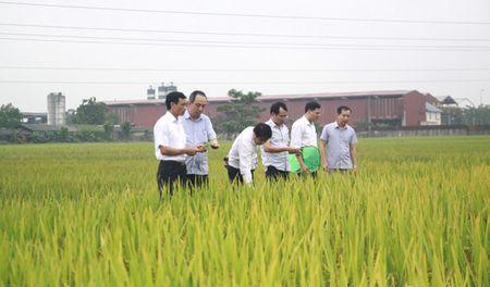 Giong lua thom HDT10 cho nang suat 8 tan/ha - Anh 2