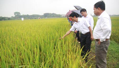 Giong lua thom HDT10 cho nang suat 8 tan/ha - Anh 3