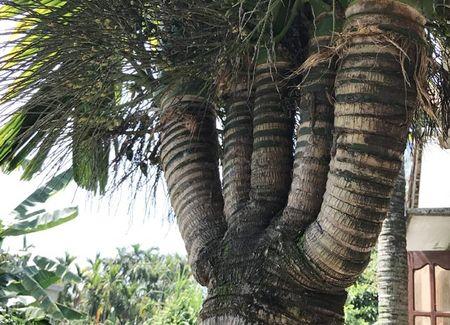 Can canh: Cay cau 'quai vat' 6 ngon, 2 buong - Anh 5