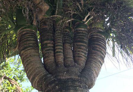 Can canh: Cay cau 'quai vat' 6 ngon, 2 buong - Anh 6