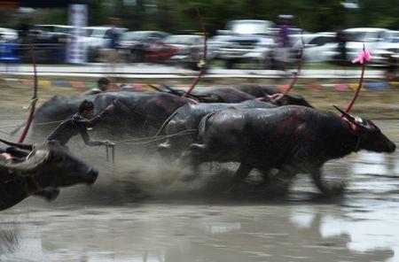Trau nuoc Thai Lan dua quyet liet trong le hoi truyen thong - Anh 2