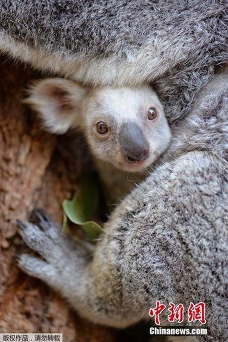 Can canh gau koala trang cuc hiem, khong phai mac benh bach tang - Anh 4
