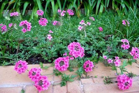Cach trong Cuc Indo cho hoa no quanh nam ngam mai khong chan - Anh 1
