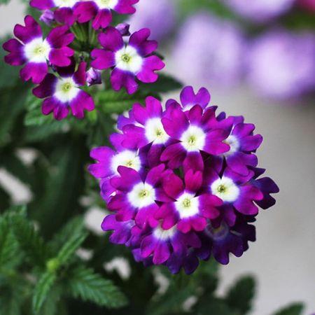 Cach trong Cuc Indo cho hoa no quanh nam ngam mai khong chan - Anh 2