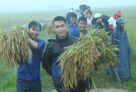 Doan Thanh nien giup dan gat lua, chay bao - Anh 1