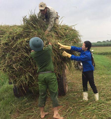 Doan Thanh nien giup dan gat lua, chay bao - Anh 4