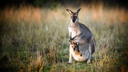 Uc ra suc keu goi nguoi dan bao ve he sinh thai bang cach an bot thit kangaroo - Anh 2