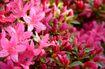 Vẻ đẹp của loài hoa đẹp mang lại tài lộc, may mắn cho gia chủ