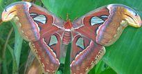Phát hiện đàn bướm đêm khổng lồ ở Bạc Liêu