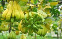 Kỹ thuật trồng cây phật thủ và mẹo bảo quản quả tươi lâu ngày Tết