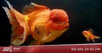 Chiêm ngưỡng cá vàng quý hiếm lớn nhất nước Anh có giá 126 triệu đồng