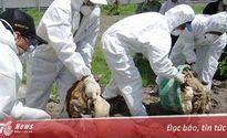 Thủ tướng Chính phủ chỉ đạo tập trung phòng chống cúm gia cầm H7N9
