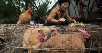 Ghi nhận thêm ổ dịch cúm gia cầm tại tỉnh Vĩnh Long
