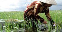 Thu mớ tiền từ lúa… tái sinh