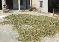 Làng lá thuốc nam nổi tiếng nhất xứ Huế