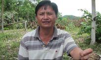 Phú Yên: dân khốn khổ vì hàng trăm gốc cao su bị đốn hạ