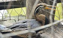 Thảo Cầm Viên tiếp nhận chim cổ rắn rất quý hiếm