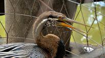Bàn giao chim cổ rắn cực kỳ quý hiếm cho Thảo Cầm Viên Sài Gòn