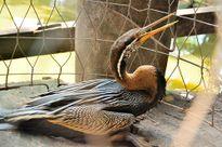 Bẫy chim cổ rắn quý hiếm bàn giao cho Thảo Cầm Viên