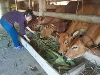 Trên 3.000 hộ ở Thanh Chương nuôi bò nhốt hàng hóa