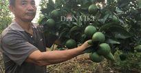 'Liều' chặt cả đồi vải thiều rồi trồng tới 10.000 cây bưởi xen cam