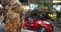 Cây xanh liên tục bật gốc ở Sài Gòn: Lỗi tại 'ông Trời'