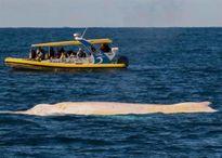 Cá voi trắng Migaloo nổi tiếng lần đầu tiên xuất hiện trở lại trong năm 2017