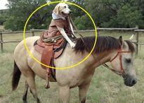 Ấn tượng với chú chó mồ côi cưỡi ngựa chuyên nghiệp y chang con người
