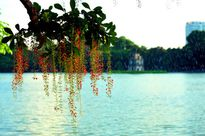 Kỹ thuật trồng cây lộc vừng cho đơm nhiều hoa làm cảnh trong ngôi nhà thêm MAY MẮN, TÀI LỘC