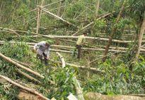 Rừng nguyên liệu bị đổ gãy thiệt hại hơn 350 tỷ đồng