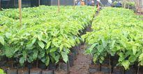 Phát hiện 445.500 cây giống cà phê không đạt tiêu chuẩn xuất vườn