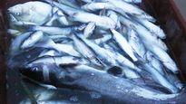 Thủy điện Hòa Bình xả lũ: Dân điêu đứng vì cá chết trắng lồng