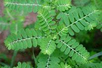 Tự chữa mụn nhọt, mẩn ngứa với cây lá vườn nhà