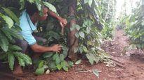 Đắk Lắk: Điều tra vụ 200 gốc tiêu của người dân bị cắt gốc héo rũ