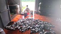 Cá 'chết sốc' do xả lũ thủy điện: Ngư dân yêu cầu hỗ trợ